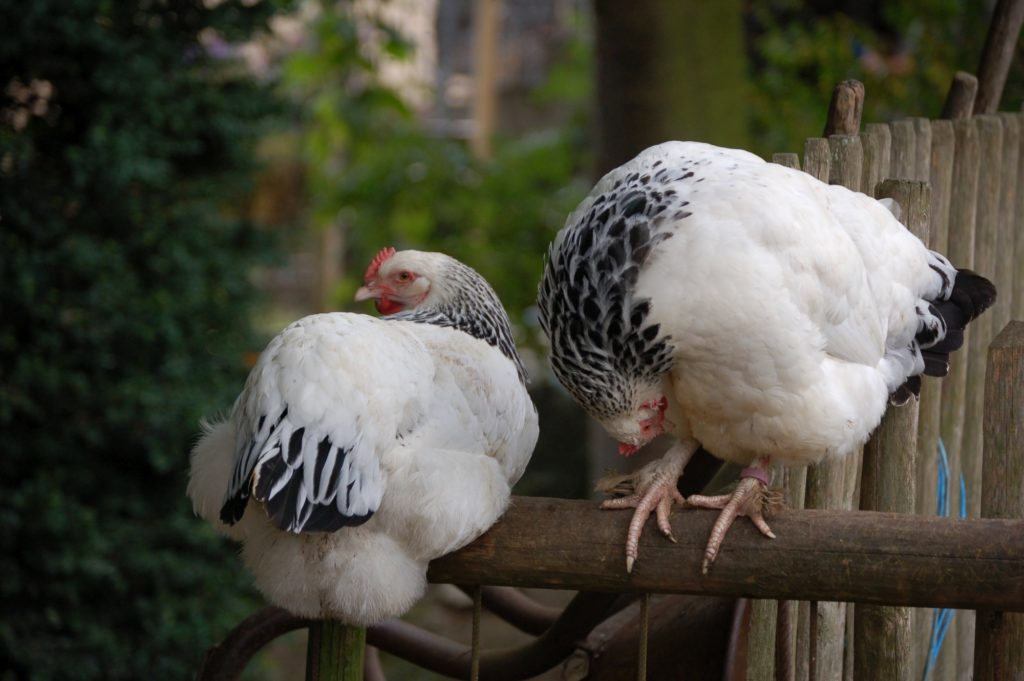 Sundheimer Hühner auf der Stange