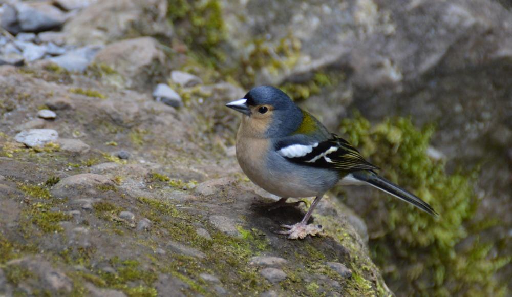 Madeira-Buchfink