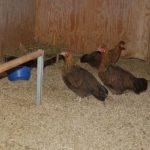 Hühnerstall mit Sitzstange und Altsteirer Hühnern