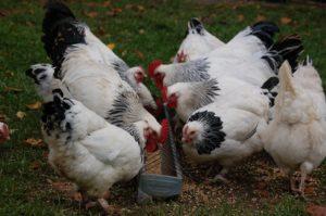 Fressende Hühner am Futtertrog