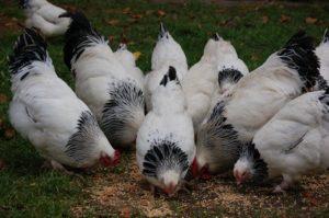 Hühner picken Futter vom Boden