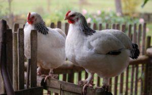 Hühner auf dem Zaun