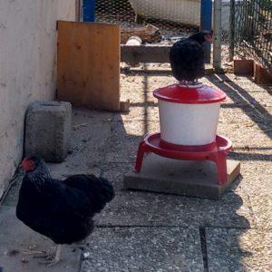 Hühner am und auf dem Wasserspender