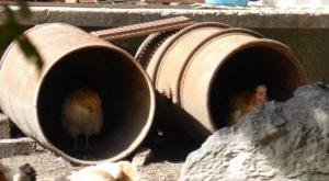 Hühner in einem Baurohr