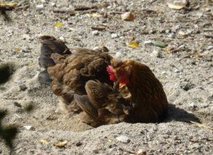 Huhn beim Staubbad