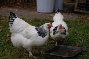 Trinkende Hühner